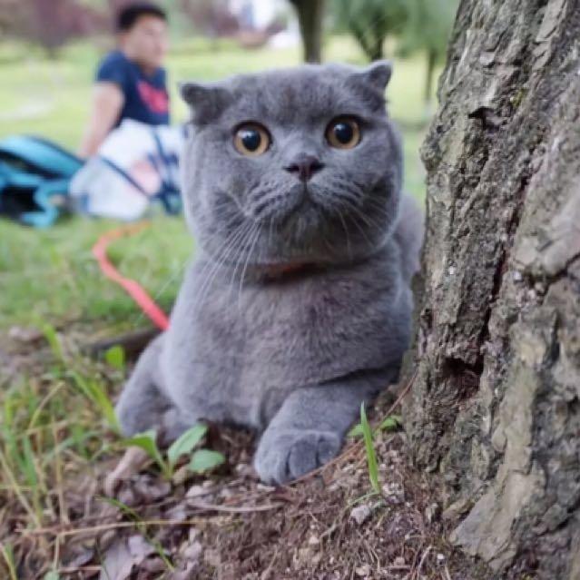英短蓝猫出售,家养猫猫,健康活泼,软糯粘人,胖嘟嘟,价格实惠~[偷乐]