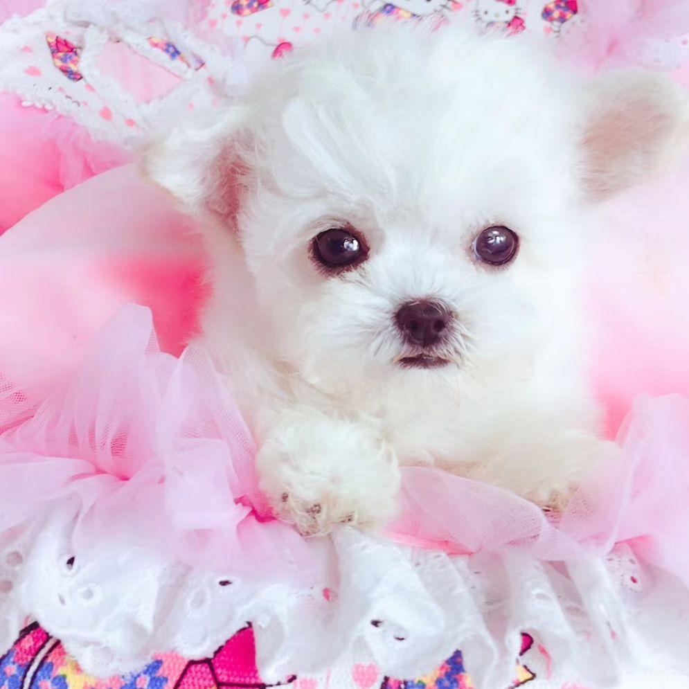 茶杯犬##泰迪##泰迪来了##超级网红狗##别人家的迷你雪纳瑞##最萌