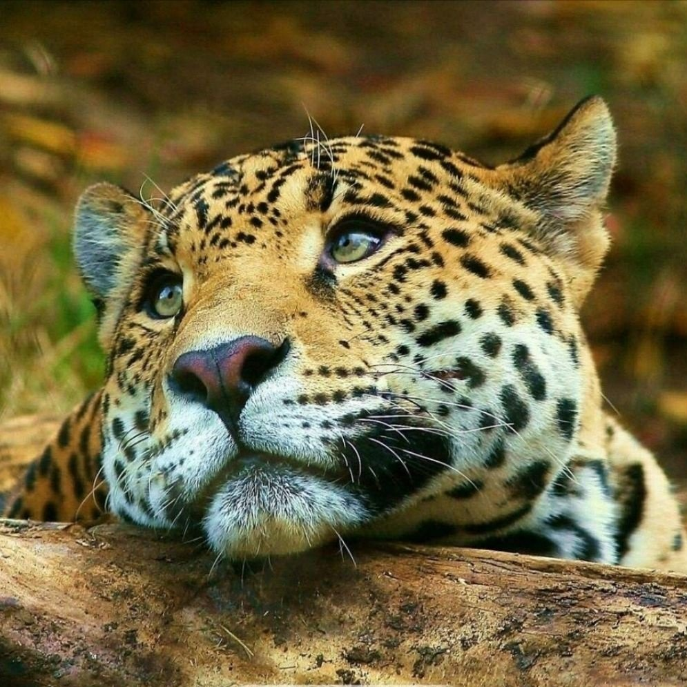 豹 豹子 壁纸 动物 虎 老虎 桌面 996_996