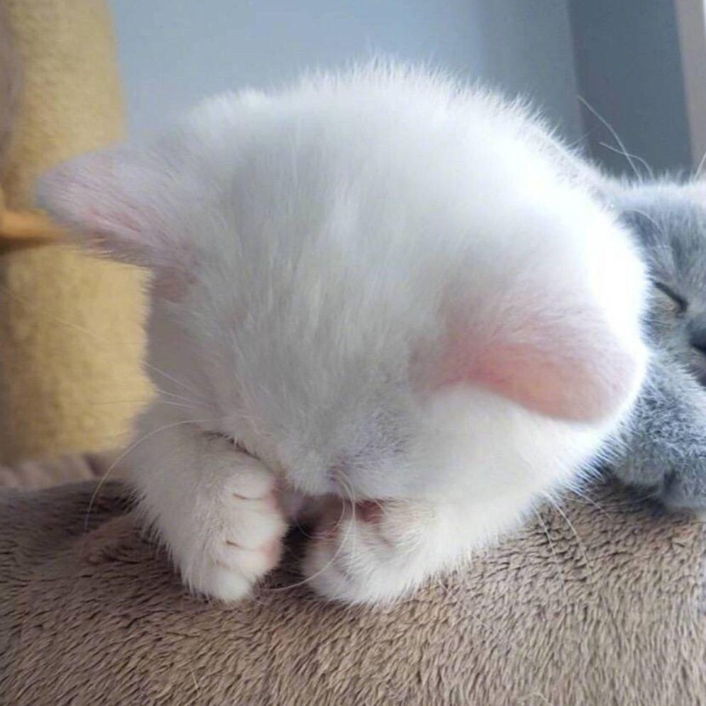 可爱的大胖猫头像