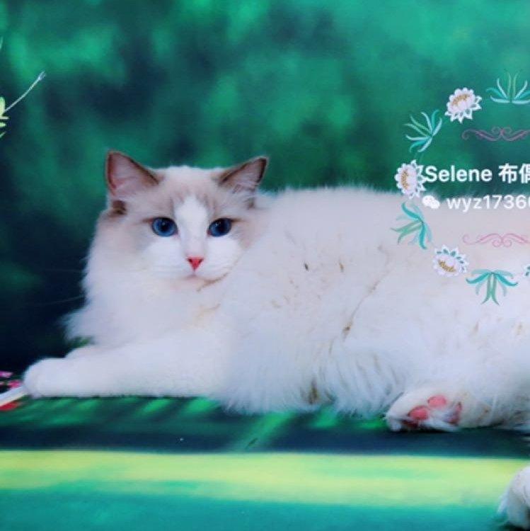 selene布偶猫舍