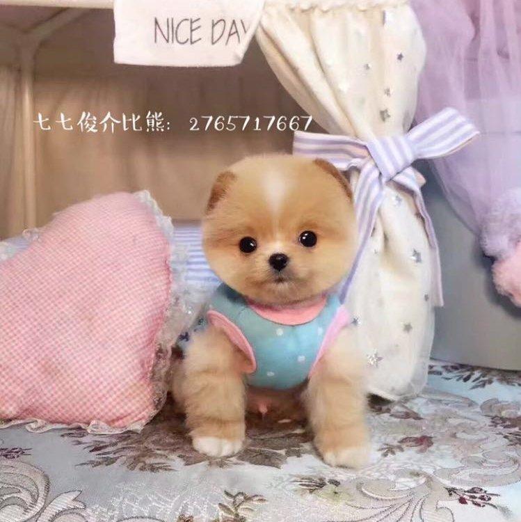 怎么看怎么可爱#茶杯博美犬cupcake##茶杯犬萌萌哒##萌宠##博美##泰