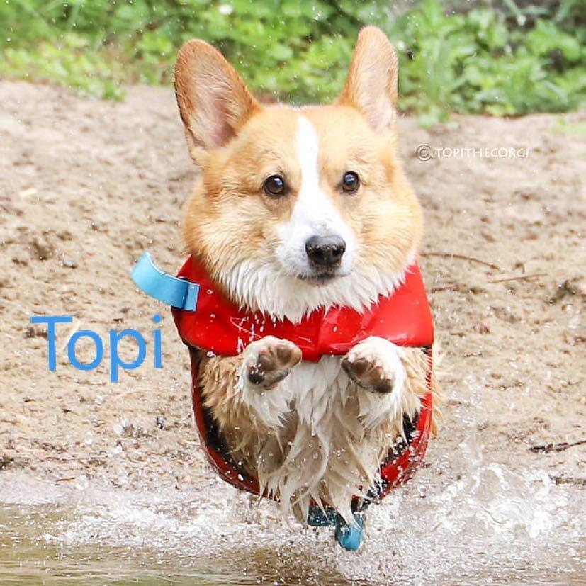 Topi柯基