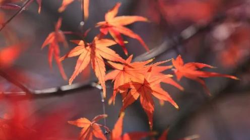 走进公园看红枫