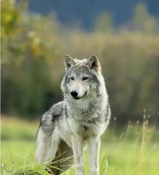 随便聊聊狼的智慧的图片 第2张