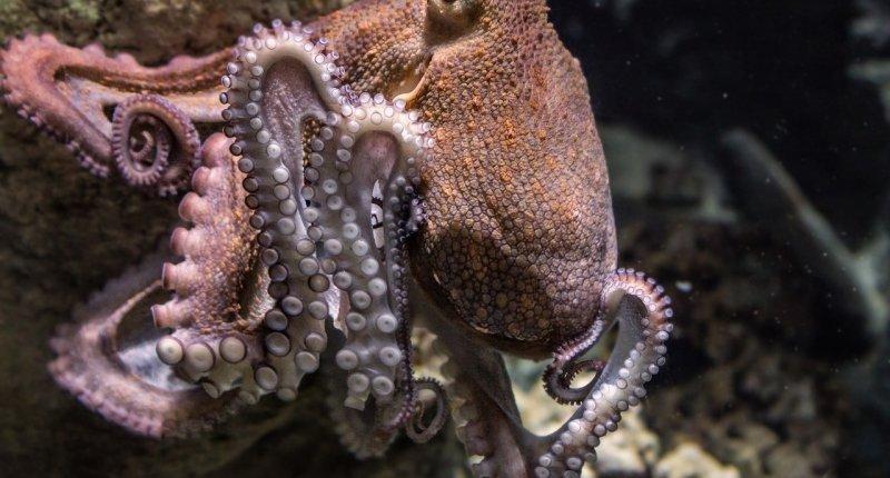 章鱼不只会故意攻击其他鱼类还喜欢互相扔东西插图