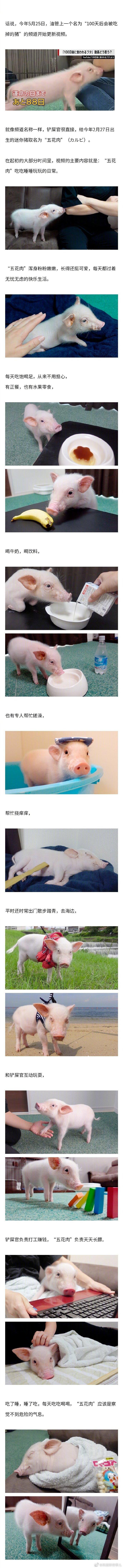 """""""100 天后会被吃掉的猪"""" 迎大结局,宠物猪真的被吃掉了?"""